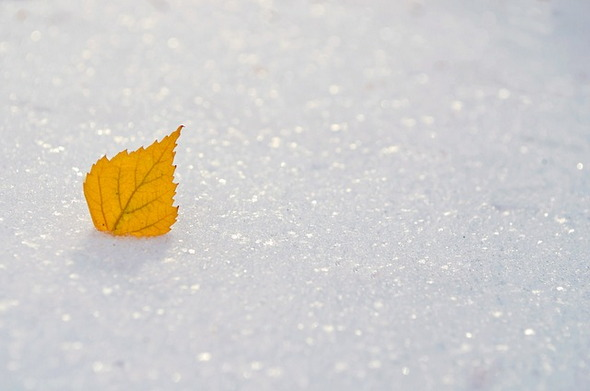 Yellow Leaf Snow